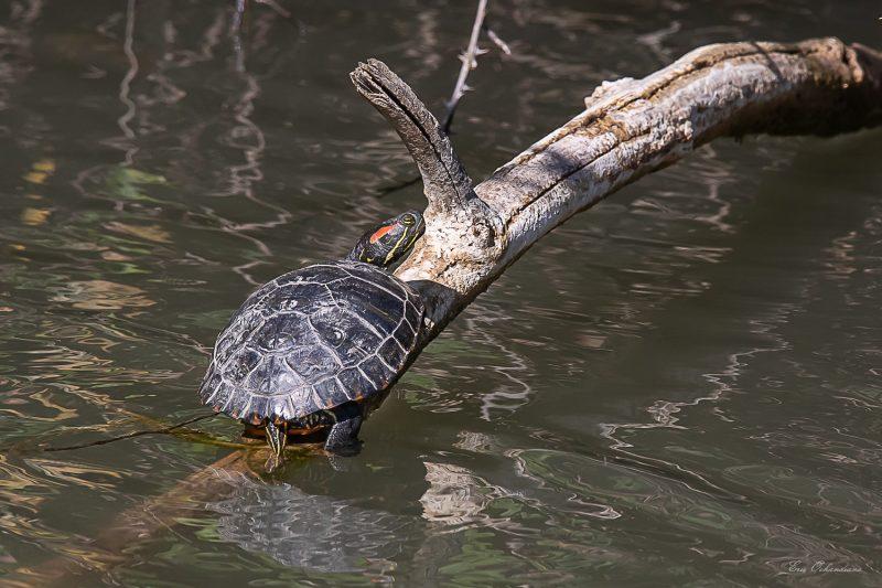 Tortue à tempes rouges ou tortue de Floride